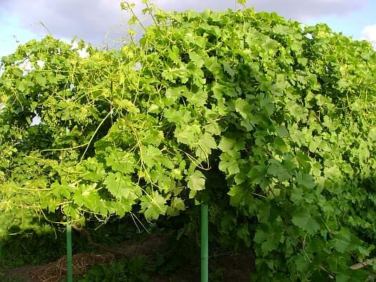 Виноградник в начале июня