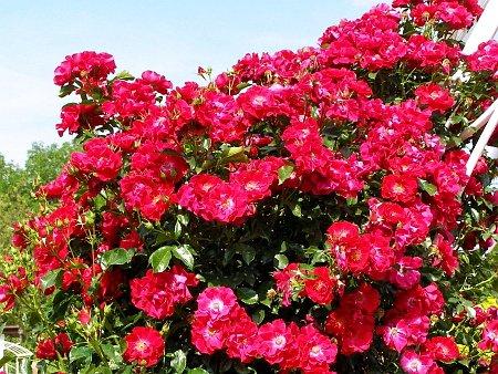 плетистые розы в саду - фото